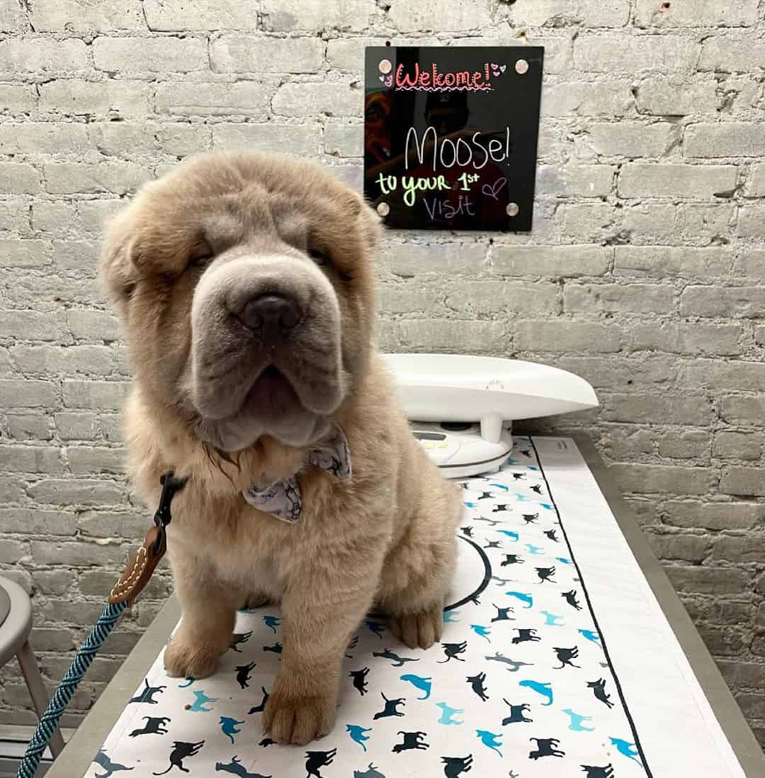 Bear Coat Shar-Pei puppy
