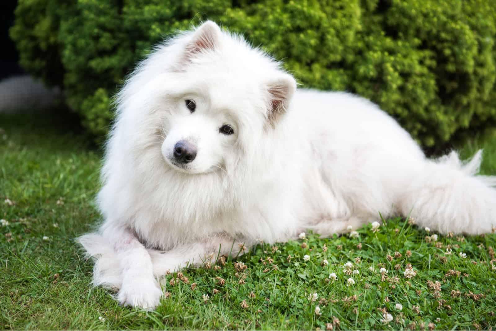 Big white dog with fluffy hair of Samoyed breed