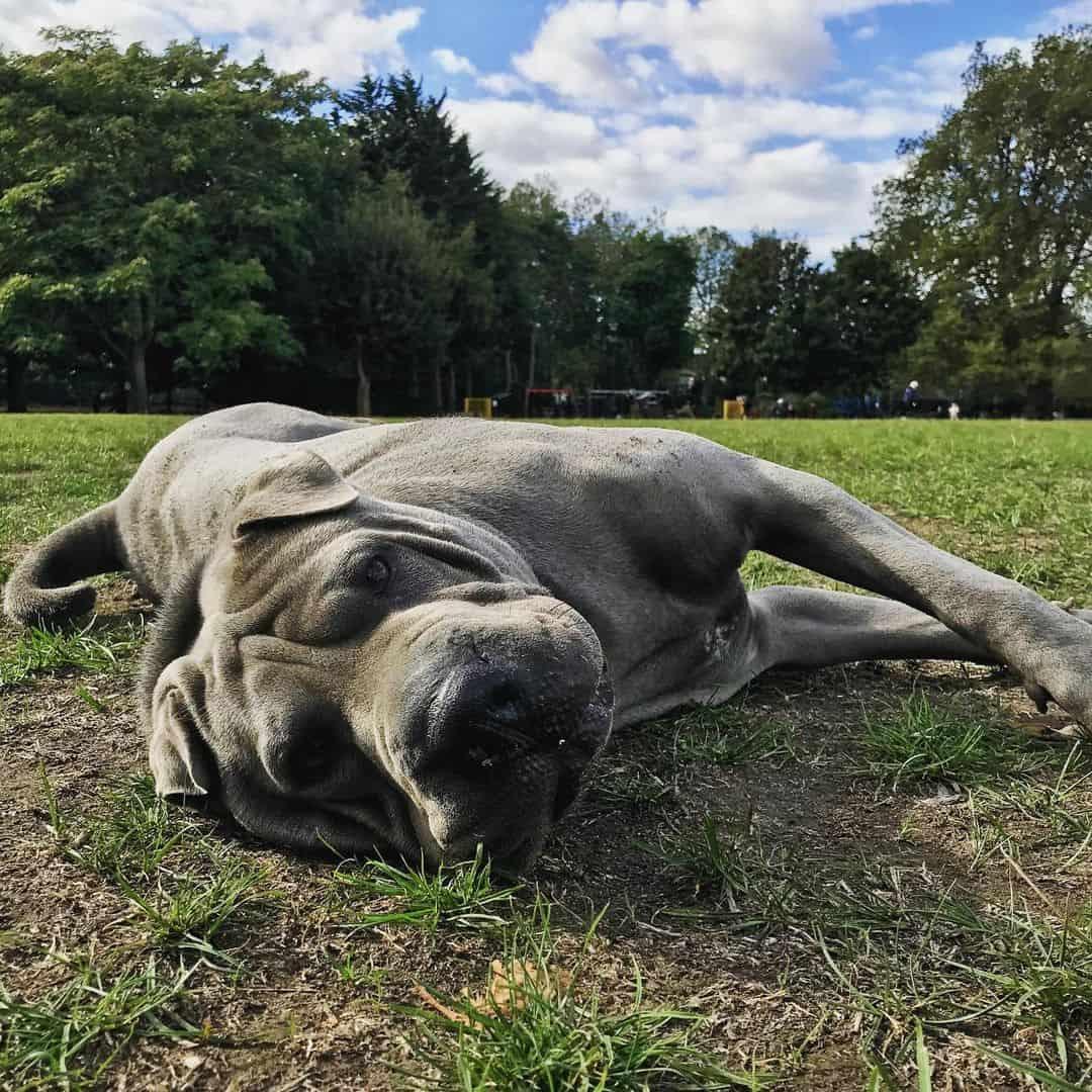 Blue Shar-Pei lying outdoors
