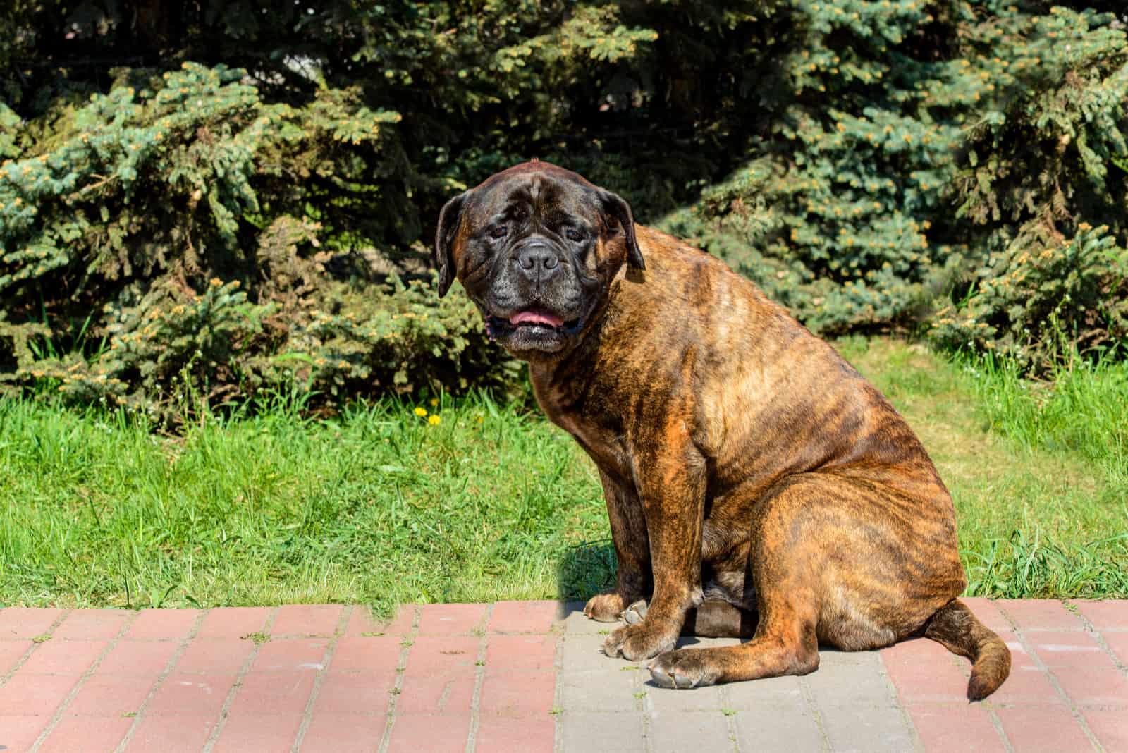 Bullmastiff dog sitting in the park