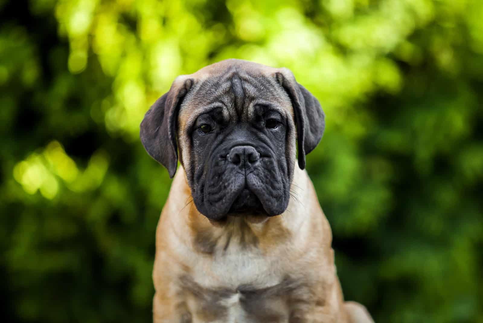 Bullmastiff puppy outdoor