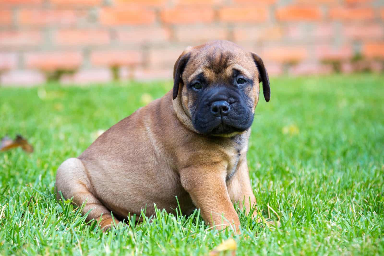 Bullmastiff puppy sitting on a green grass