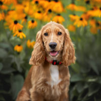 cocker spaniel puppy with blooming flowers in the background