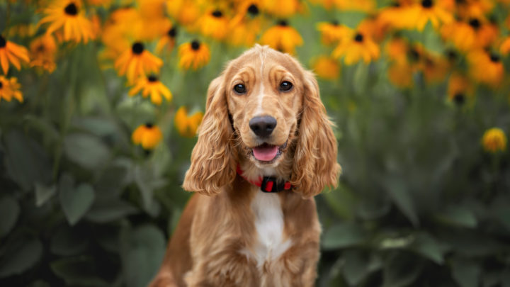 Cocker Spaniel Cost: The Ultimate Guide For Spaniel Lovers