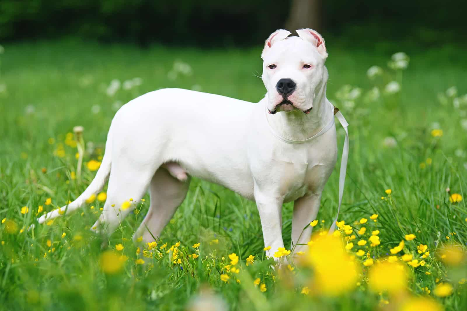 Dogo Argentino dog with cropped ears staying outdoors