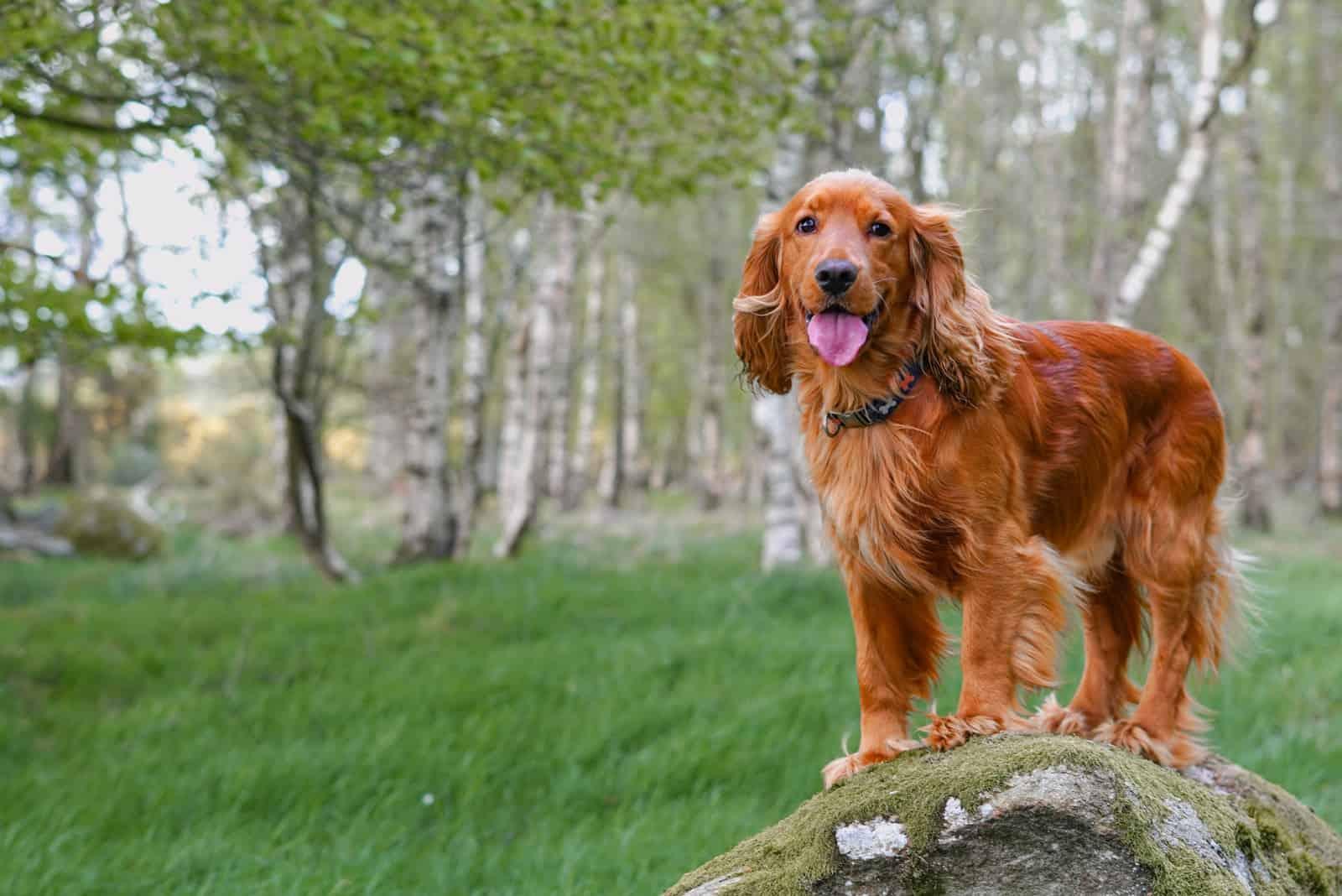 English cocker spaniel dog standing on the stone