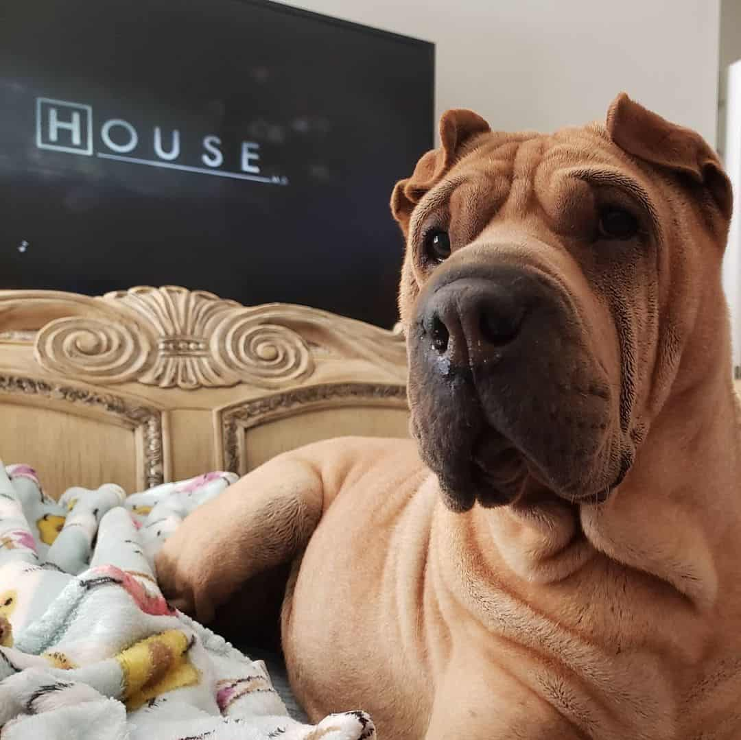 Fawn Shar-Pei dog lying on the bed