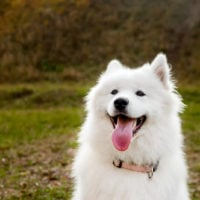 cute samoyed with happy face