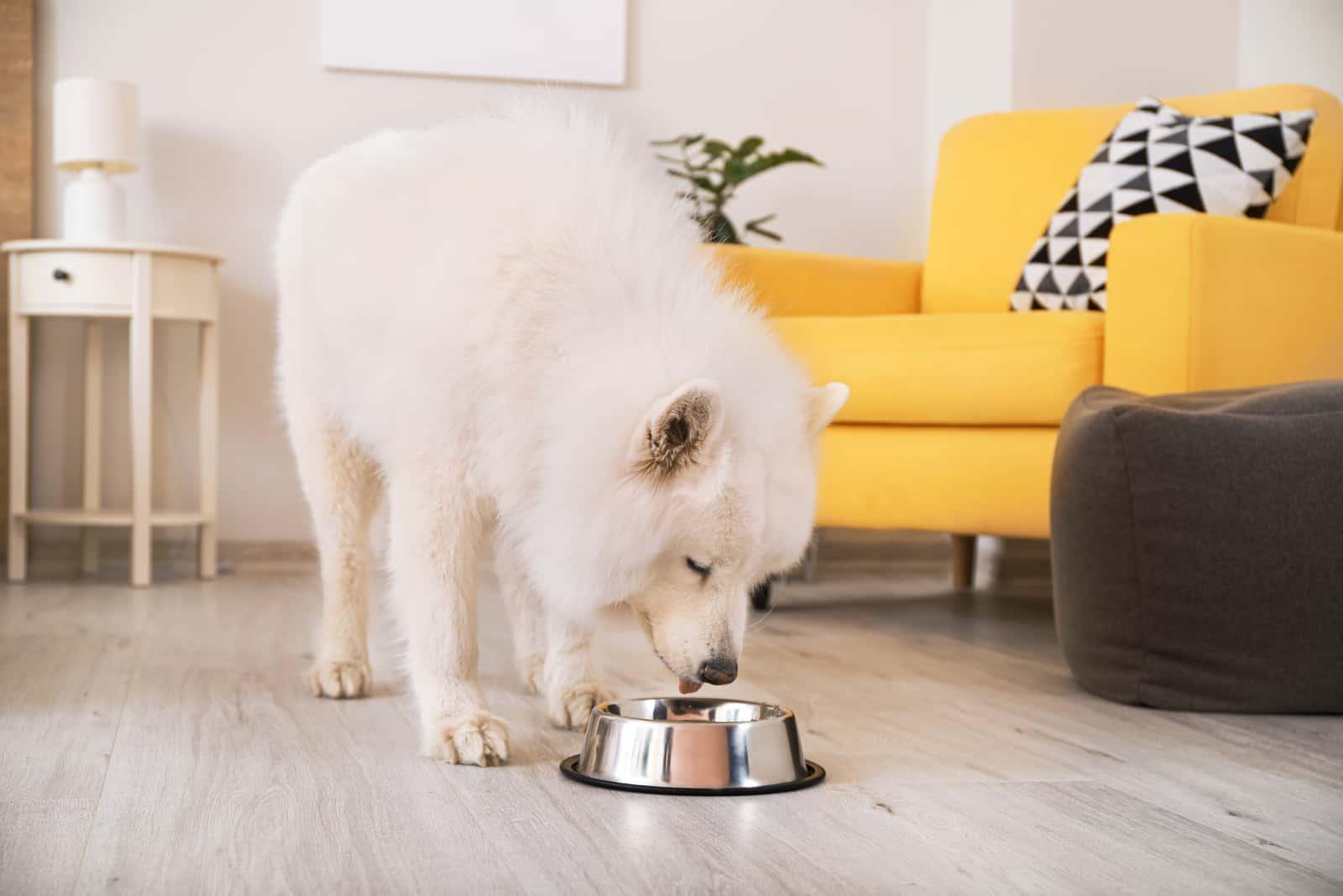 Samoyed dog eating from bowl at home