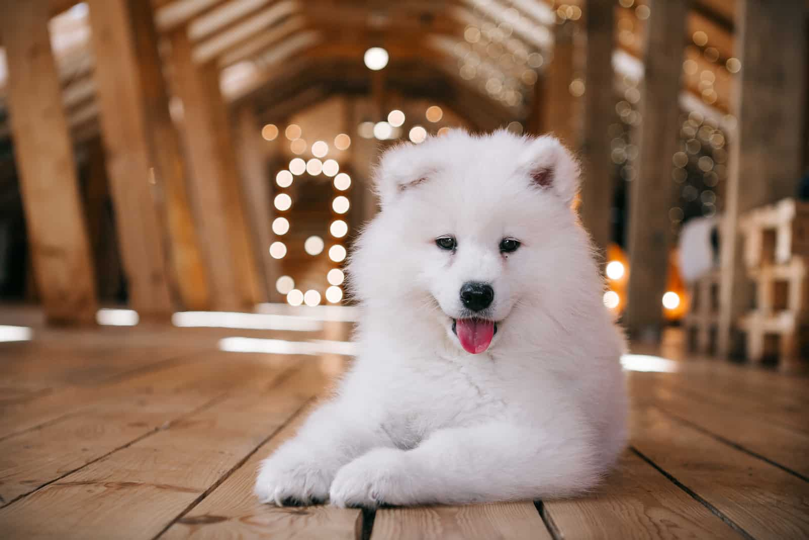 Samoyed puppy on a wooden attic at home