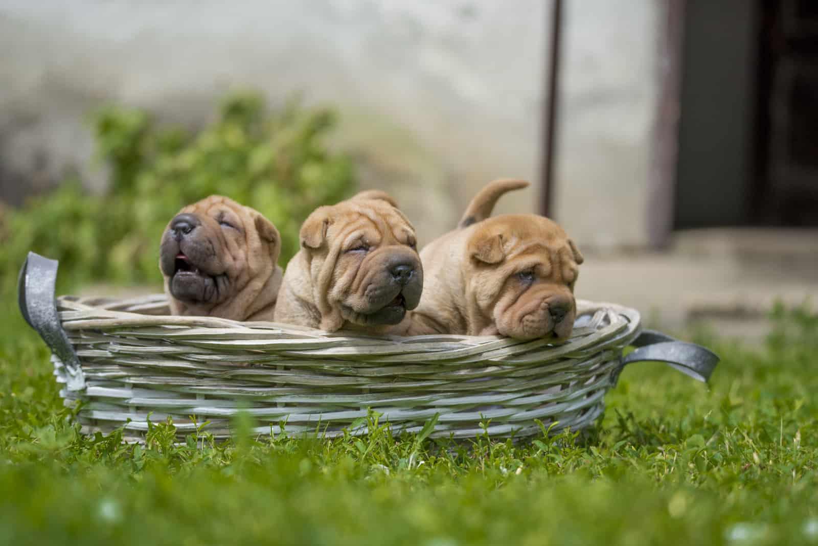 Shar Pei puppies outdoors