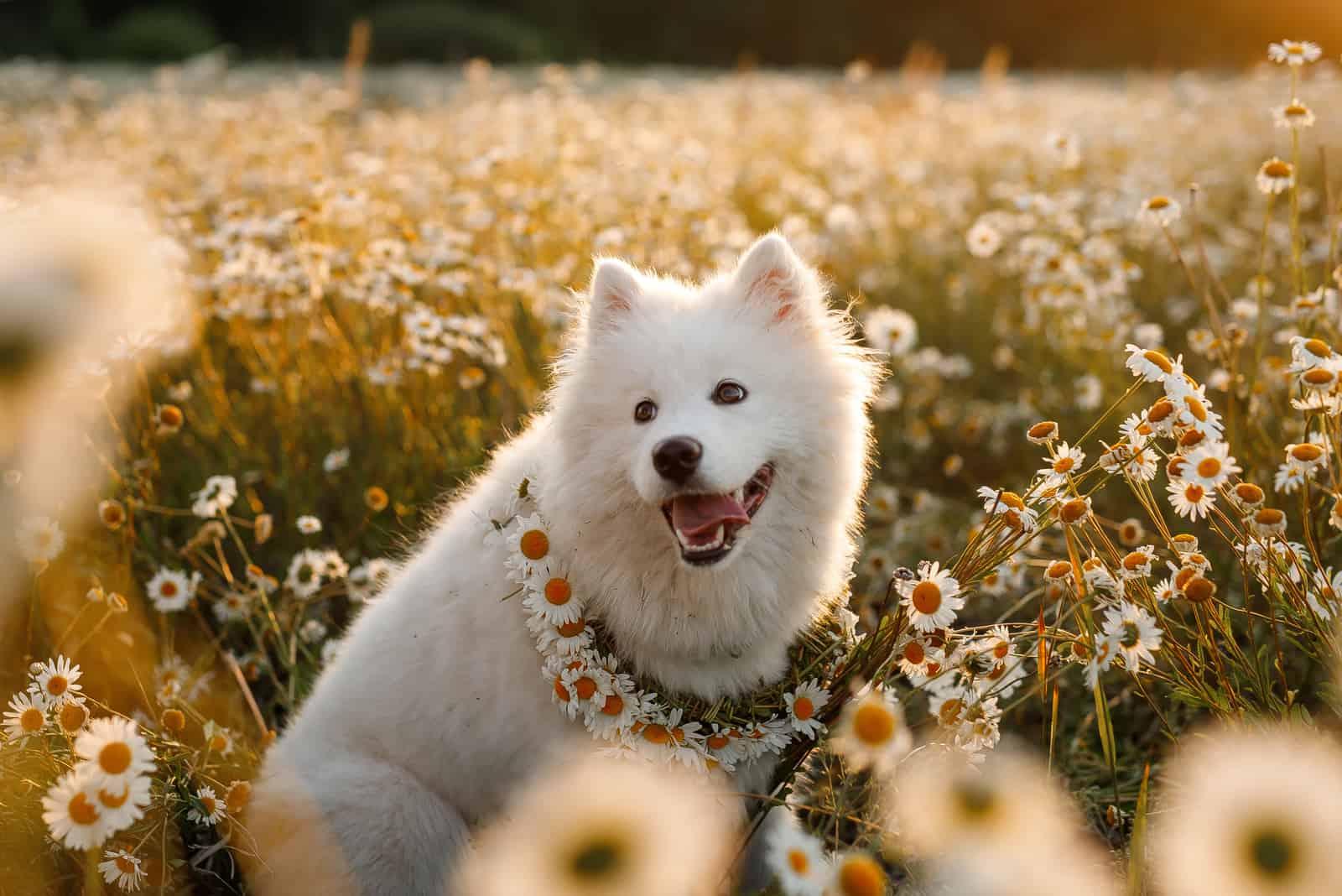 Smiling White Samoyed Dog