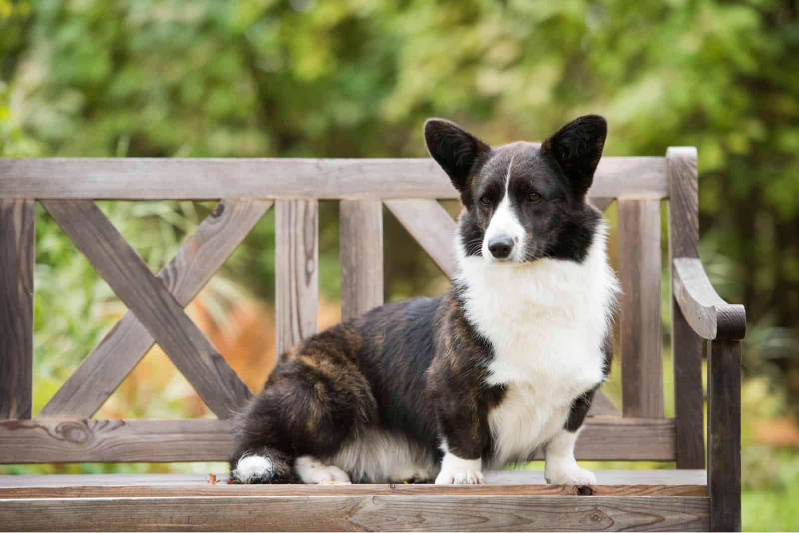 Welsh corgi cardigan sits on the bench in the yard