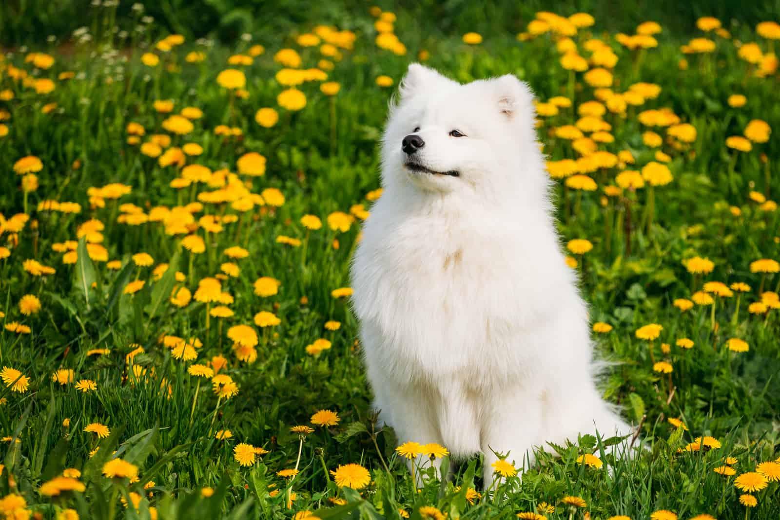 White Samoyed Dog sitting on the grass