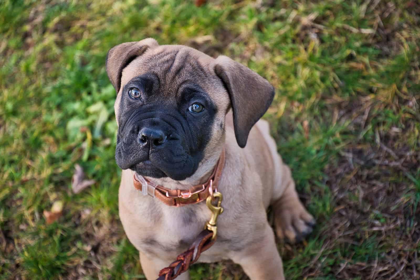 adorable little bullmastiff puppy on the grass