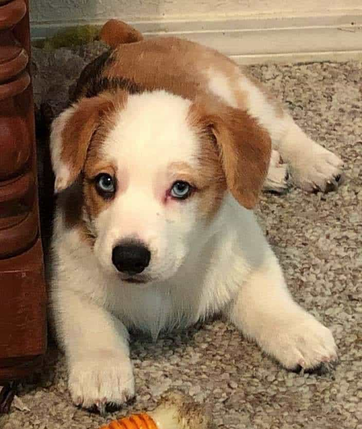 adorable little corgi puppy with blue eyes
