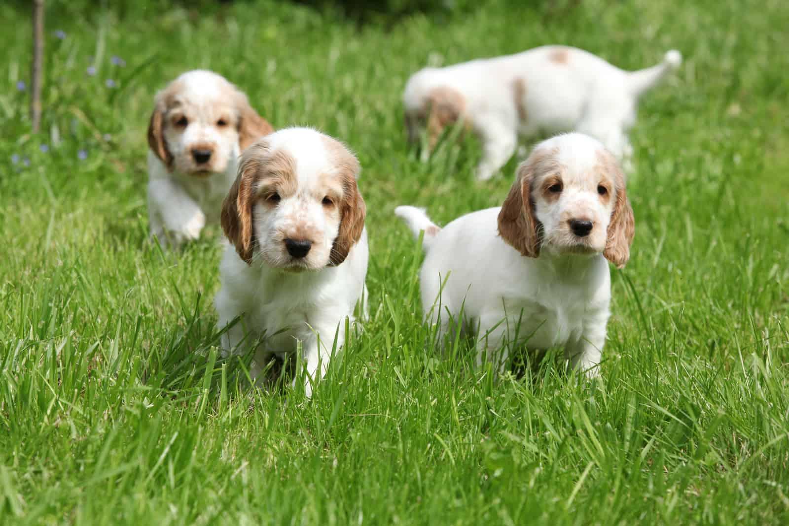 cocker spaniel puppies outdoors