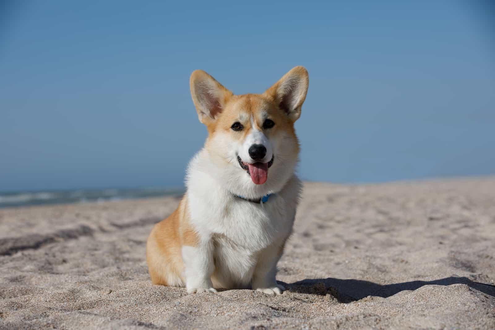 corgi dog on the beach