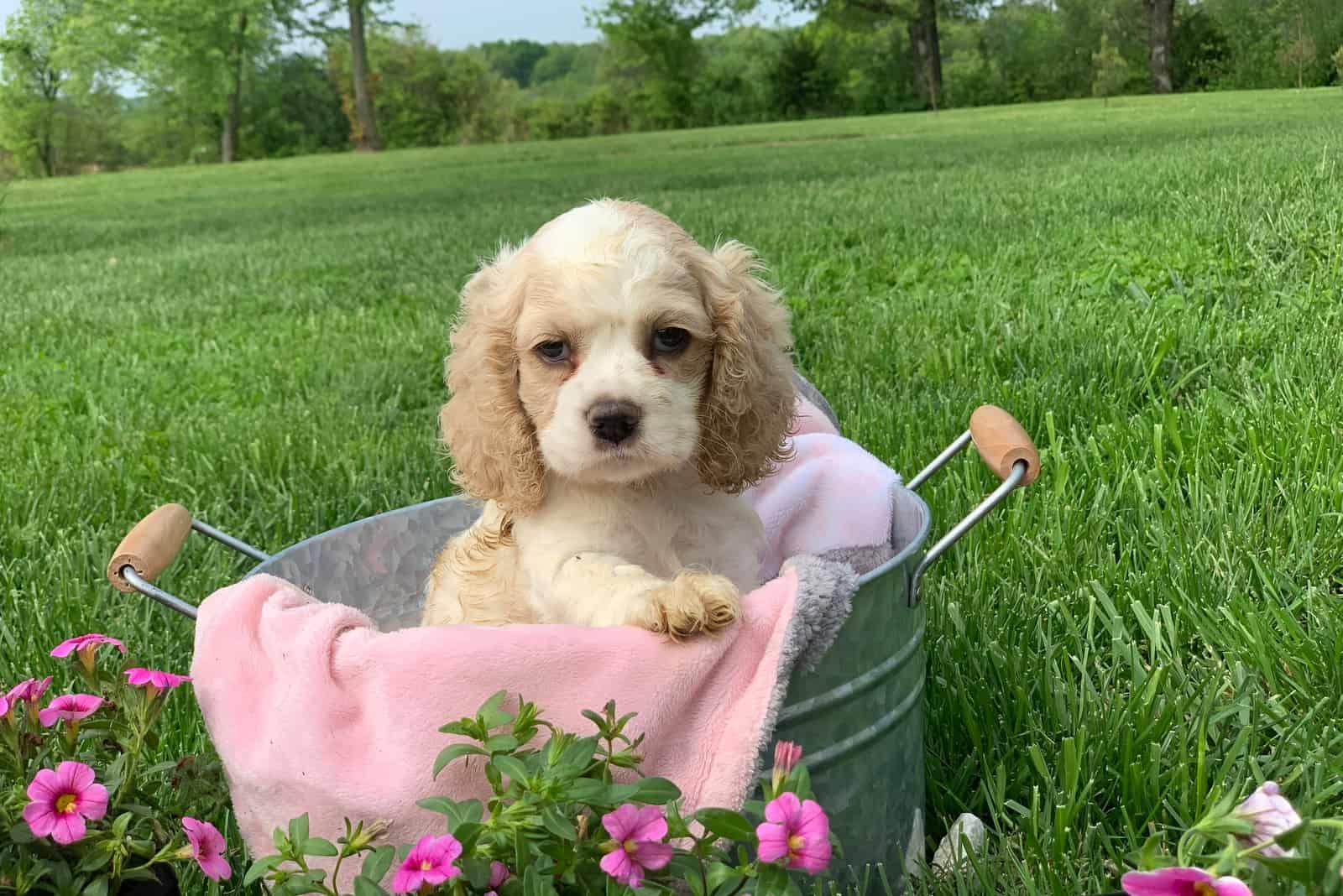 cute little Cocker Spaniel puppy