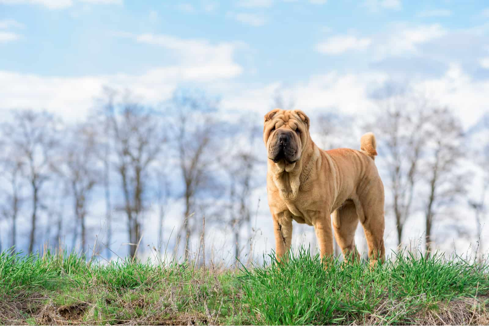 dog breed Shar Pei in nature