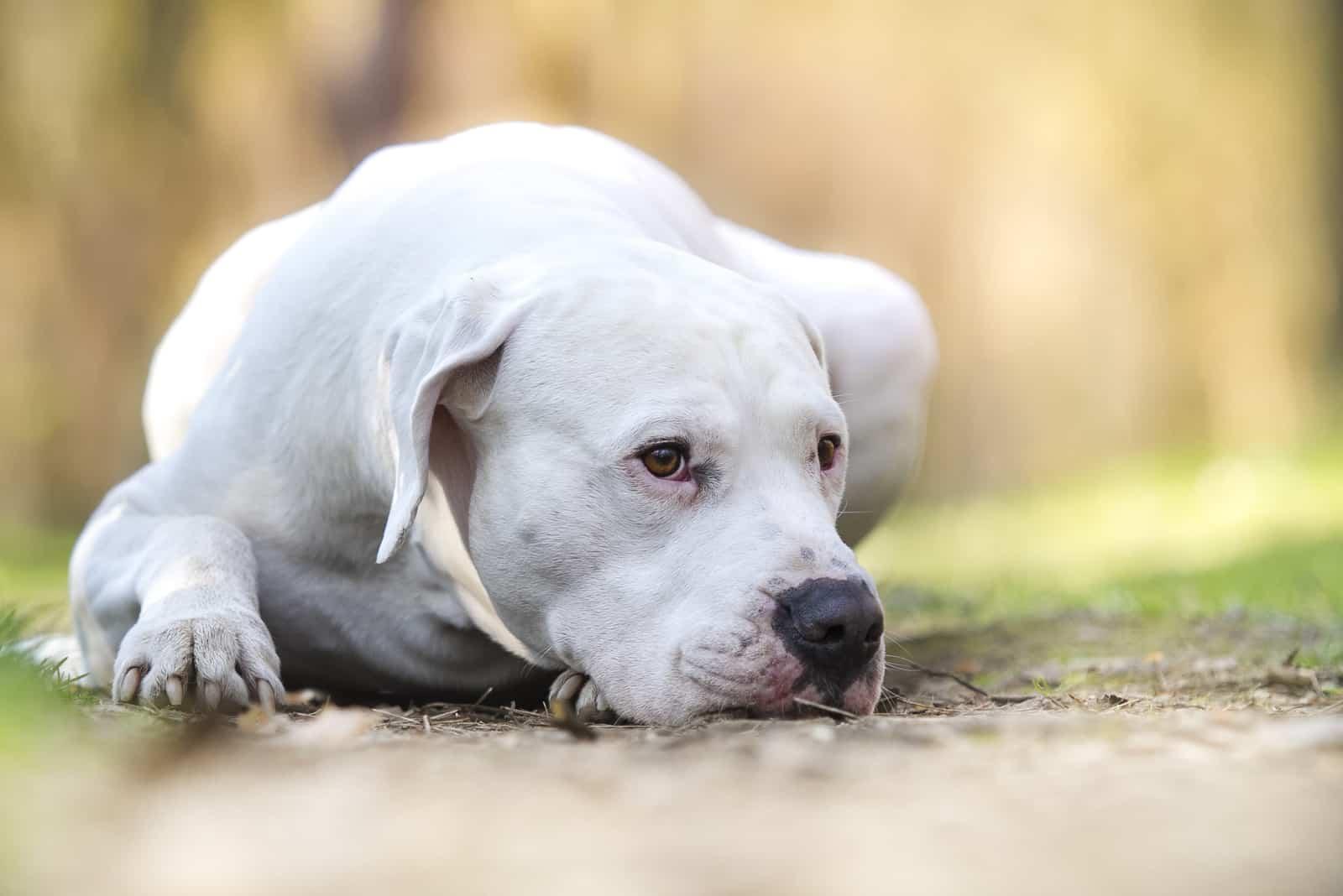 dogo argentino lying on the ground