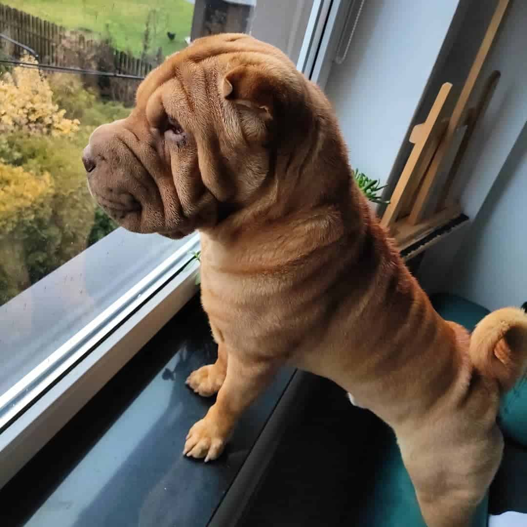 five point red dilute shar pei