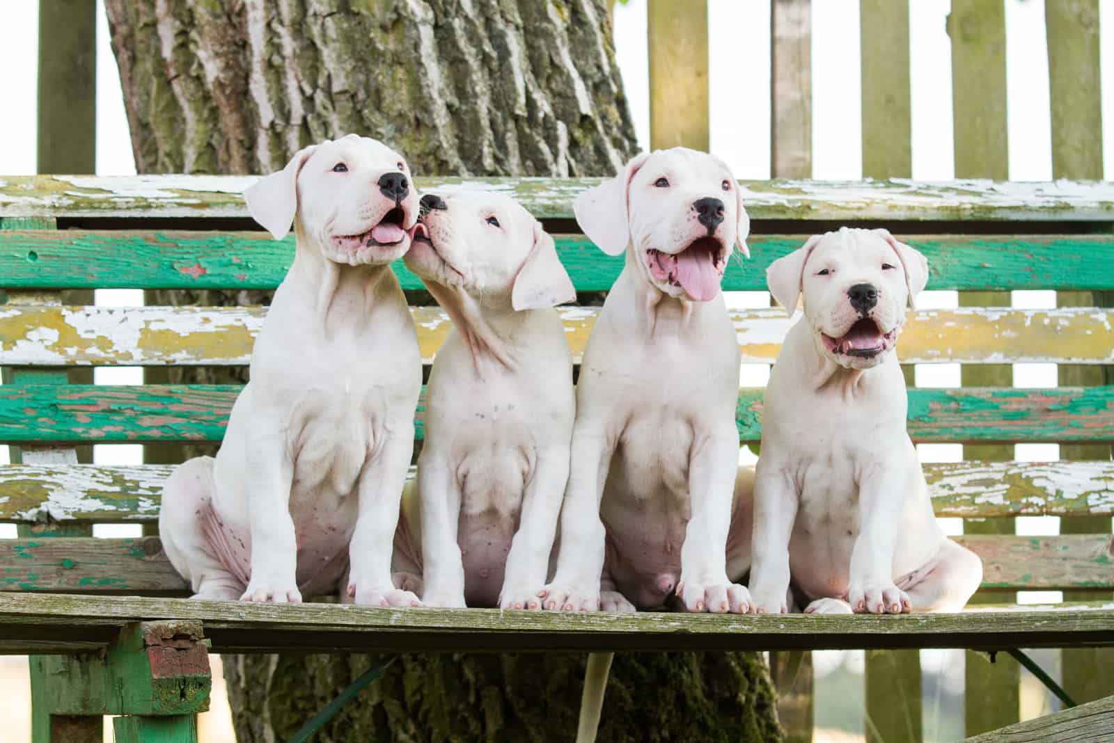 group of dogo argentino puppies