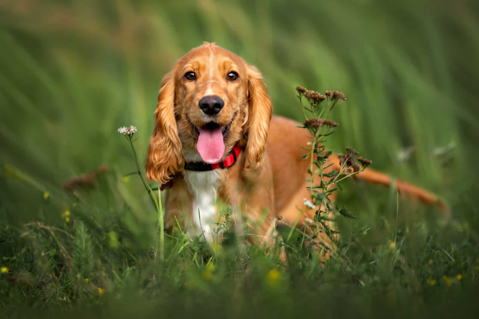 happy red cocker spaniel puppy portrait outdoors