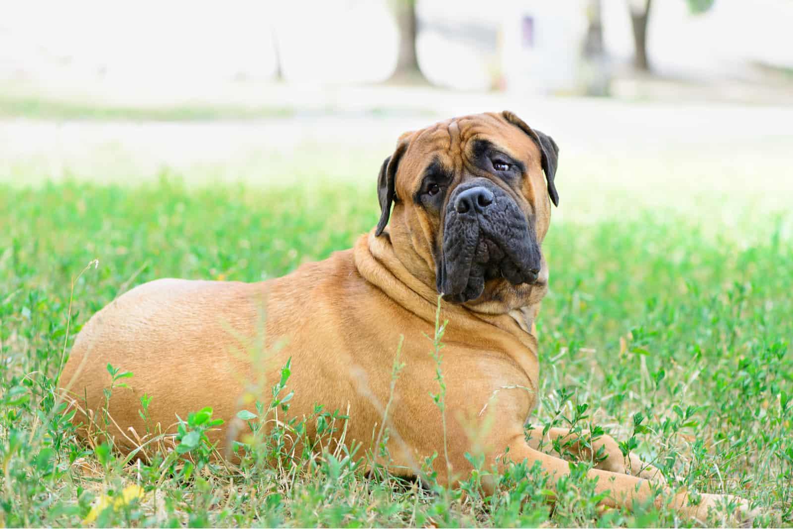large red dog bullmastiff lying on the green grass