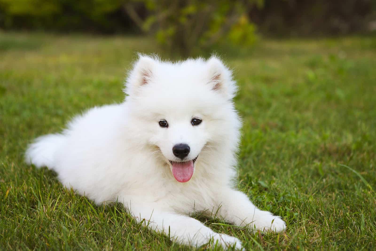 samoyed puppy in the summer garden