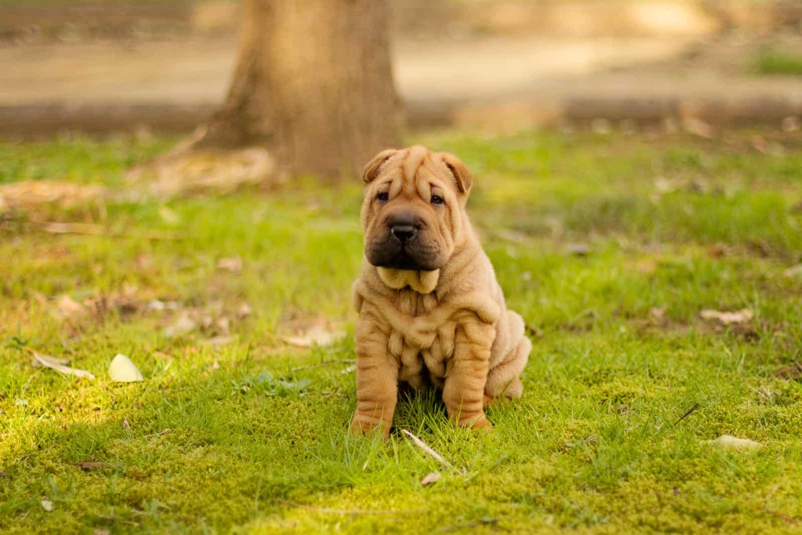 shar pei dog puppy sitting on the grass