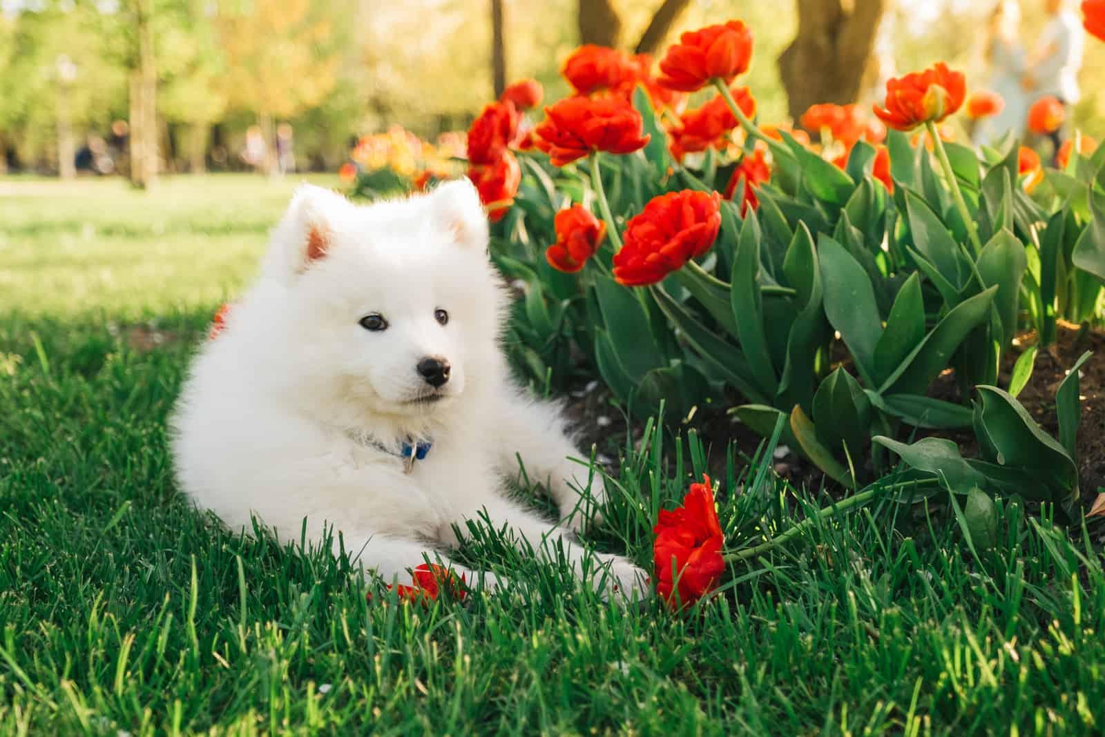 wonderful Samoyed puppy sits on the green grass