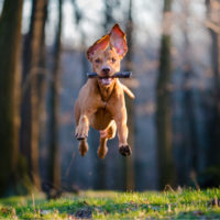hunting dog jumping in woods