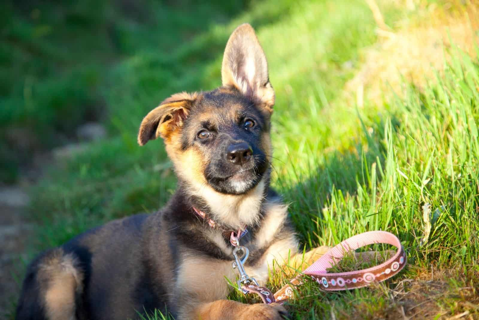 2 month old german shepherd lying in the grass