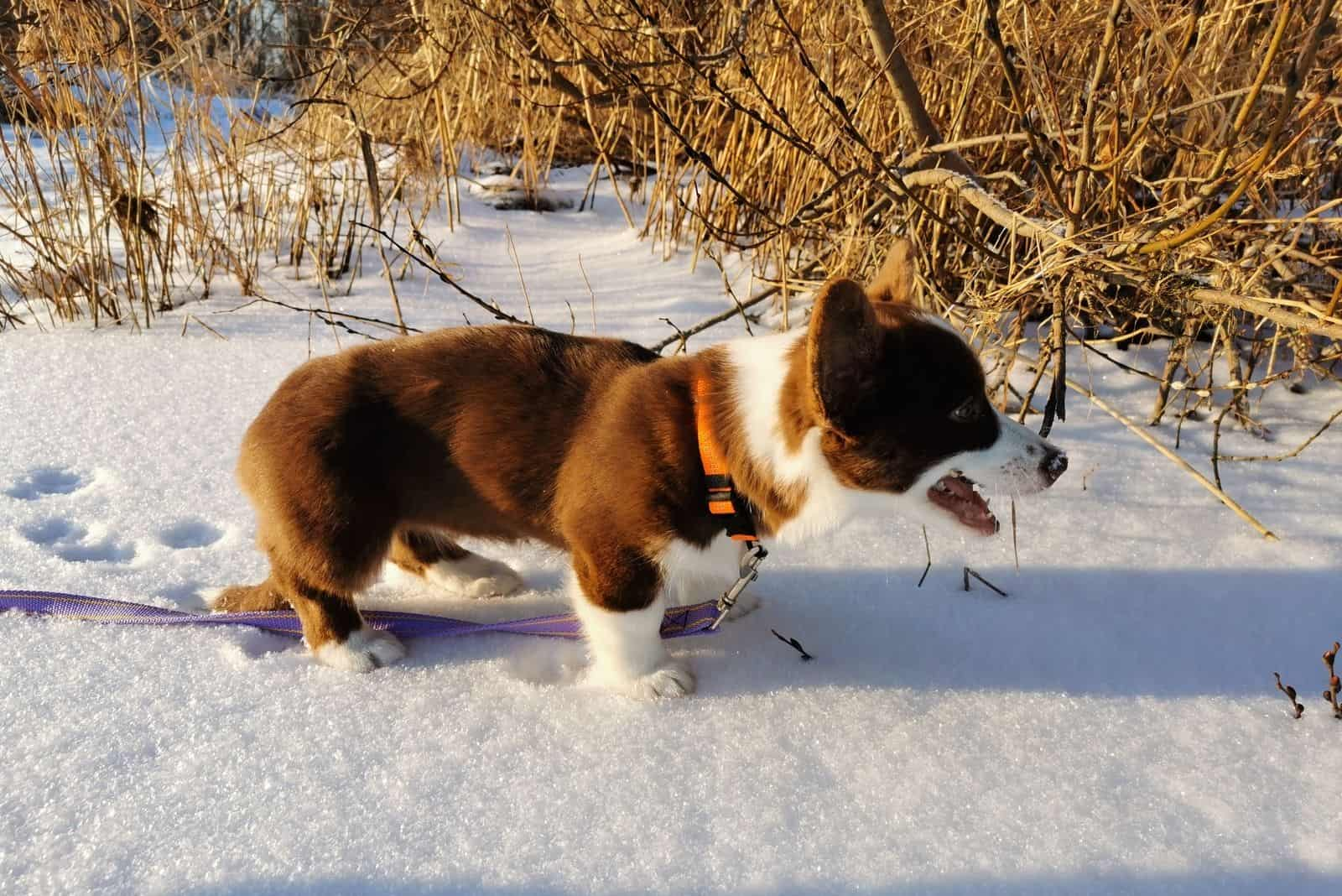 2.5 month old female puppy. Unformat - brown color with white paws and white breast