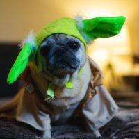 pug wearing yoda ears