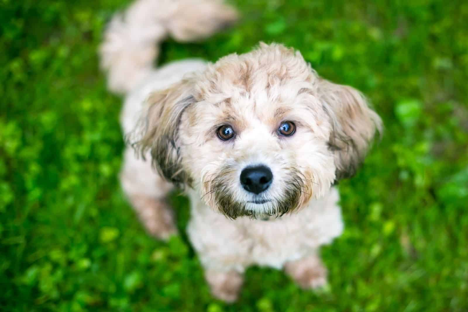 A small Poodle mixed breed dog sitting and looking up at the camera