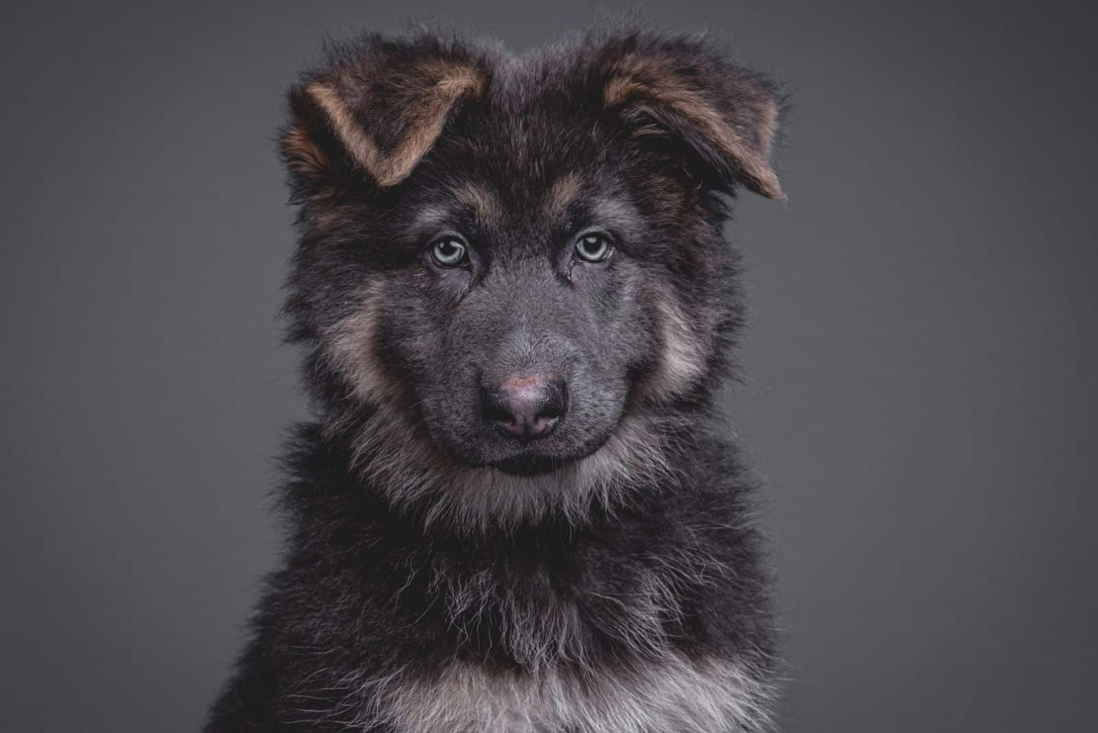 Adorable German Shepherd puppy with blue eyes