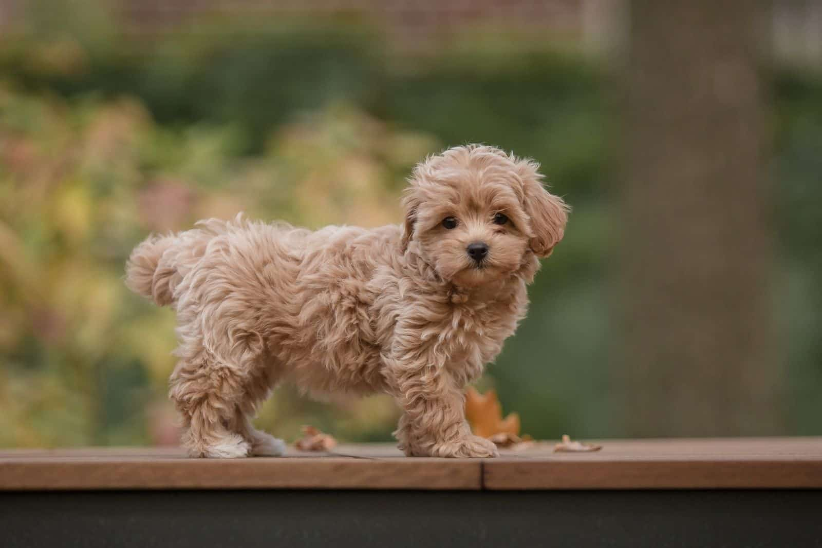 Adorable Maltese and Poodle mix puppy standing over the platform