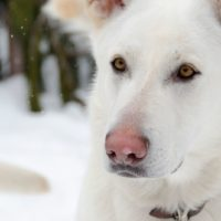 portrait of an albino german shepherd in a close up image