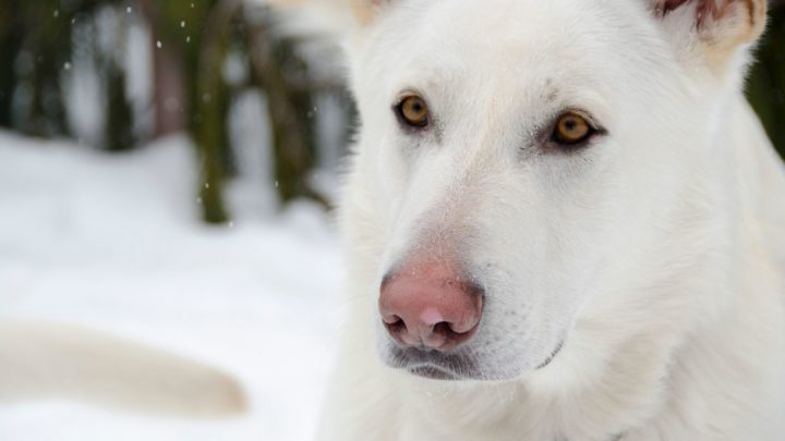 Albino German Shepherd: The Myths And The Facts Explained