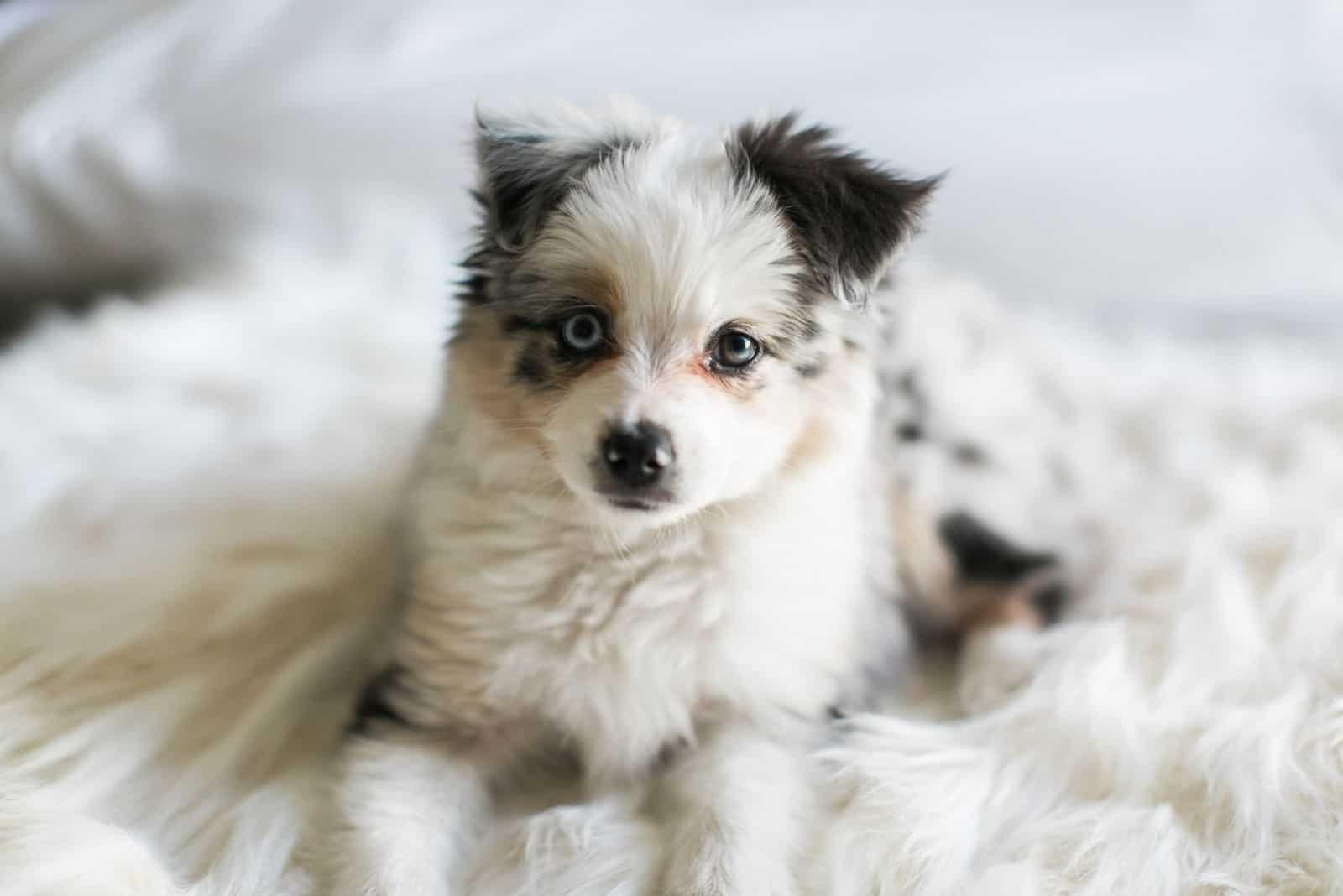 Australian Shepard puppy lying in bed