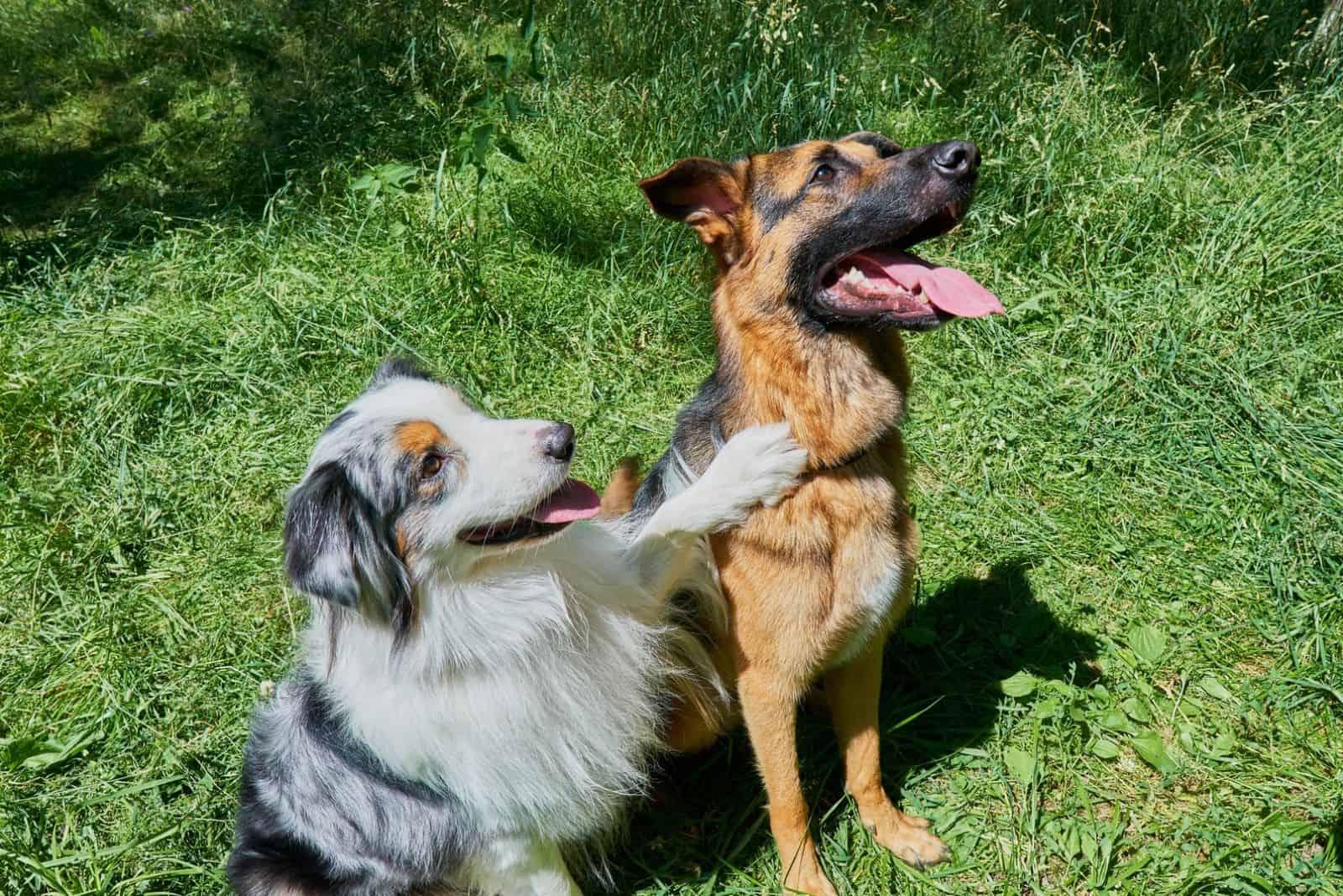 Australian Shepherd and German Shepherd sit on green grass. Australian Shepherd put his paw on a German Shepherd
