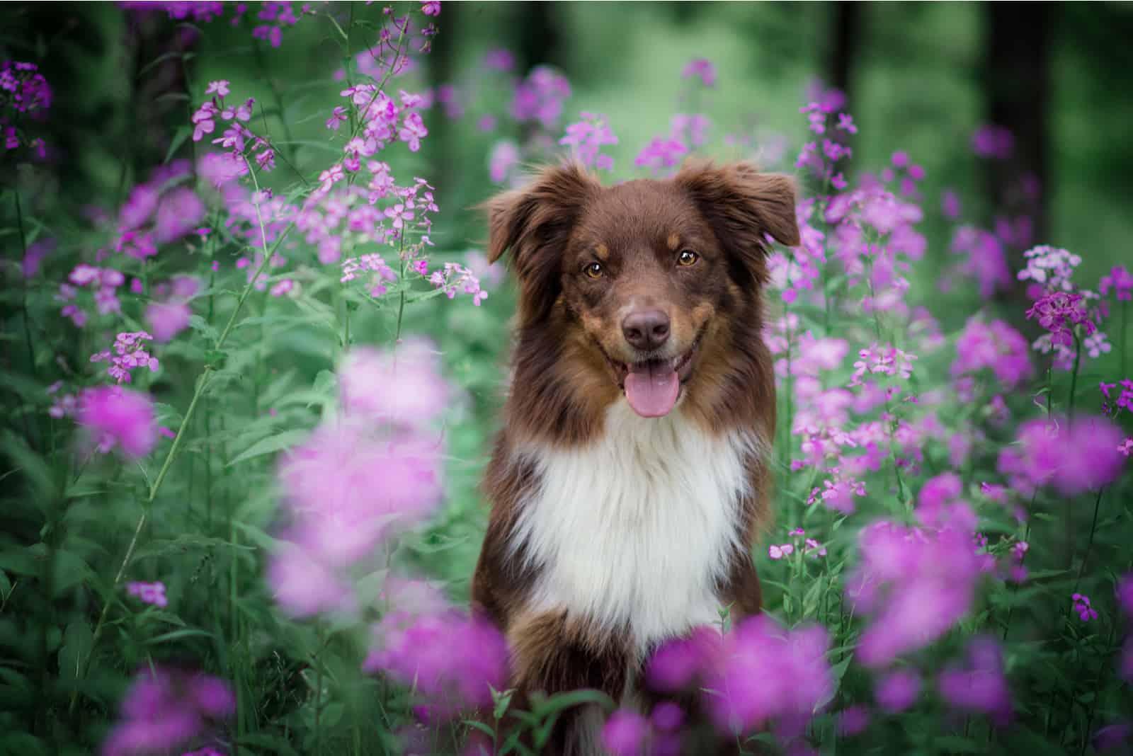 Australian shepherd in pink flowers