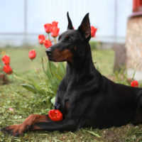 cute Doberman in tulips