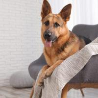 german shepherd sitting on a sofa