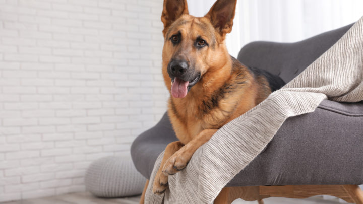 Best Dog Beds For German Shepherd Dogs: 12 Comfy Choices For A Good Night's Sleep