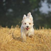 cute havanese dog running in nature