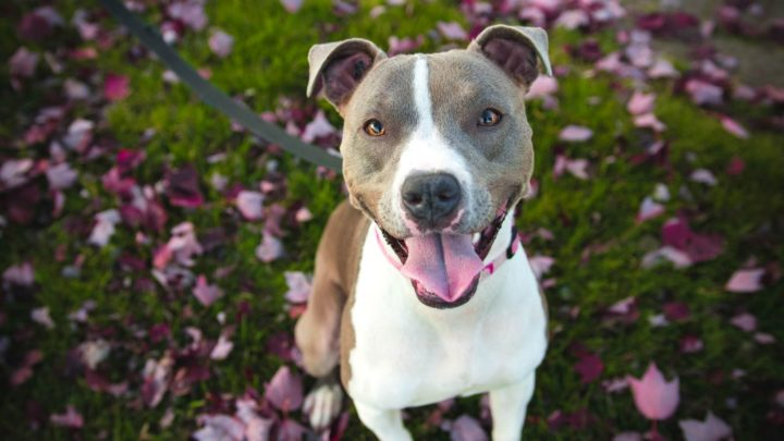 Best Dog Food For Pitbull: Our 8 Favorites and more!