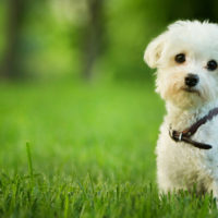 small maltese puppy standing in grass
